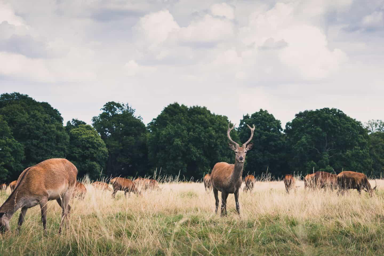 Richmond-Park-Deers